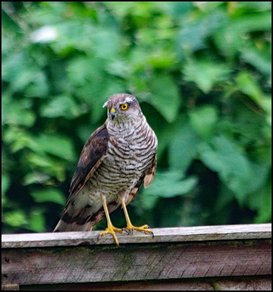 Sparrowhawk 170820